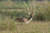 Jeleń aksis jelenia — Zdjęcie stockowe