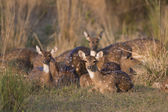 Chital Deer — Stock Photo