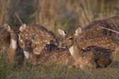 Cervo chital — Foto Stock