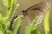 Common Crow Butterfly and Caterpillar — Stockfoto