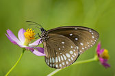 Common Crow Butterfly on a Flower — Stock Photo