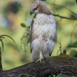 Changeable Hawk-Eagle — Stock Photo
