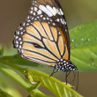 Common Tiger Butterfly — Stock Photo