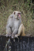 Rhesus Macaque — Stock Photo