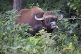 Gaur or Indian Bison — Stock Photo
