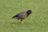 Common Myna or Indian Myna — Stock Photo