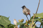 Red-vented Bulbul — Stock Photo