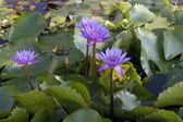 Blue purple Lotus Flowers — Stock Photo
