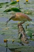 Squacco Heron — Stock Photo