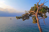 A lone pine tree over sea — Stock Photo