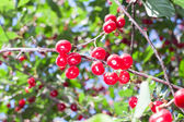 Fresh red cherries on a branch — Stock Photo