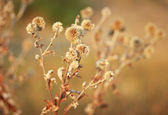 Dry flowers — Stock Photo