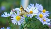 花の蛾 — ストック写真