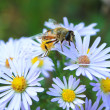 Stock Photo: Honey bee on flowers