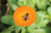 Pszczoła miodna — Zdjęcie stockowe