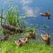 Wild ducks — Stock Photo #14550703