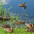 Wild ducks — Stock Photo #14550757