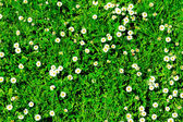 Many white daisies in top view of meadow, several Bird's-eye — Stock Photo