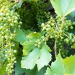 Stock Photo: Green grapes on vine