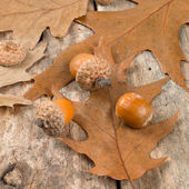 Autumn oak leaves and acorns on the abstract background — Stock Photo