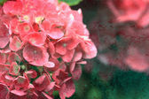 Textured Hydrangea — Stock Photo
