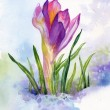 Stock Photo: Spring crocus flowers in snow