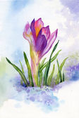 Spring crocus flowers in snow — Stock Photo