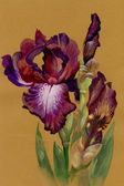 Watercolor Flower Collection: Iris — 图库照片