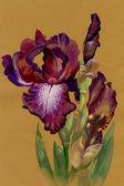 水彩画の花のコレクション:アイリス — ストック写真