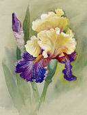 Watercolor Flower Collection: Iris — Stock Photo