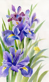 Watercolor Flower Collection: Irises — Stock Photo