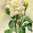 watercolor roses — Stock Photo