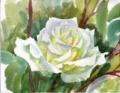 Watercolor Flower Collection: Rose — Stock Photo