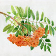 Red rowan watercolor illustration — Stock Photo