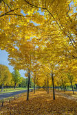 Yellow trees in Dresden Germany — Stock Photo