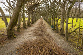 Allee with cut branches — Stock Photo