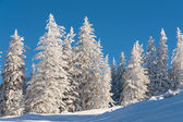 Pine trees in snow with blue sky — Stock Photo