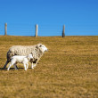 Sheep with lamb — Stock Photo