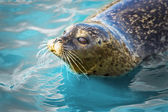 Gray seal in blue water — Stock Photo