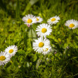 Daisies in green meadow — Foto Stock
