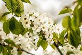 Beautiful blossoms — Stock Photo