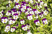 Pansy flowers in garden — Stock Photo