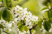 Nuevas flores de cerezo — Foto de Stock