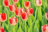 Belle tulipani — Foto Stock