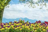 Pansies Chiemsee Alps — Stock Photo