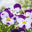 Viola altaica — Stock Photo