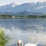 Swan on the lake — Stock Photo