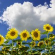 Field of sunflowers in summer — Stock Photo