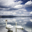 Two swans on the shore — Stock Photo