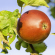 Closeup apple on tree — Stock Photo